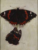 Etudes de papillon dit Vulcain, de face et de profil