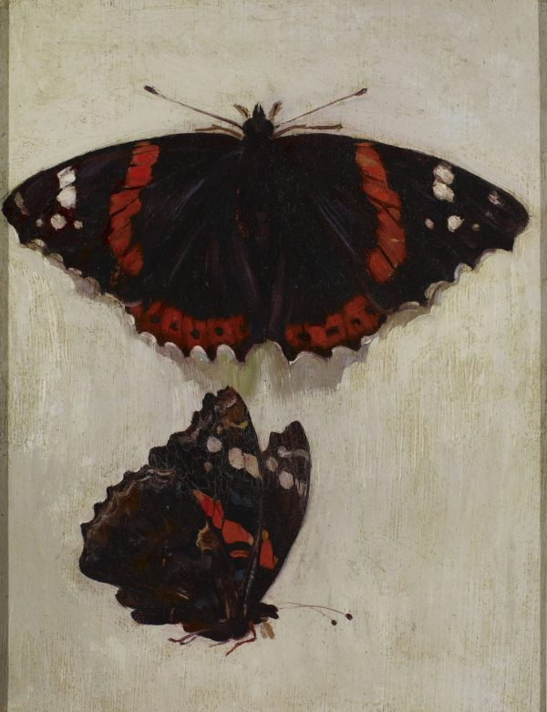 Study of a Red Admiral Butterfly (Vanessa atalanta)